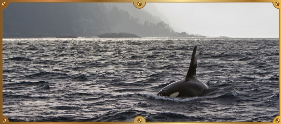 Killer whale along the Pacific coast